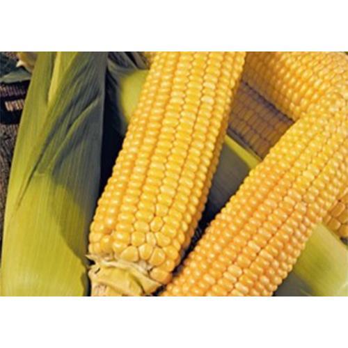 Sweet Corn Erica Seed